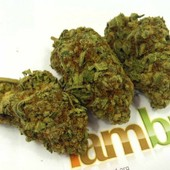 Blueberry Kush - www.iambud.org