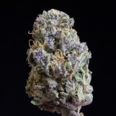 Purple Zombie bud