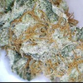 Blue Venom frosty bud