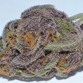 Purple Dragon Weed