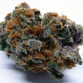 Purple Cream bud