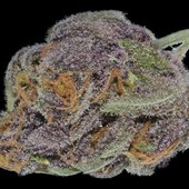 Super Purple Dream