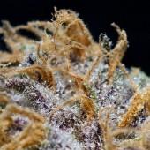 Purple Hindu