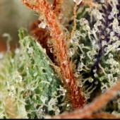 Fire OG trichomes
